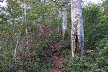 ブナ林の急坂
