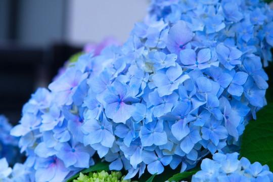 玄関の紫陽花