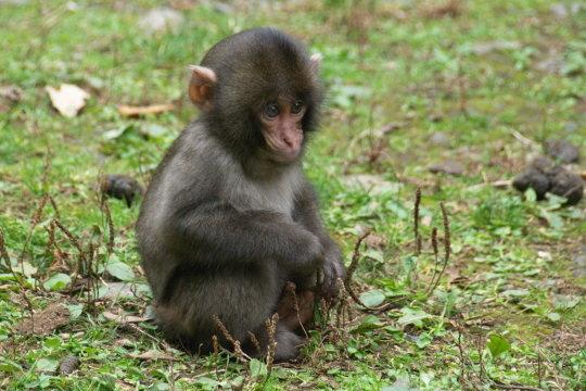 野生の小猿