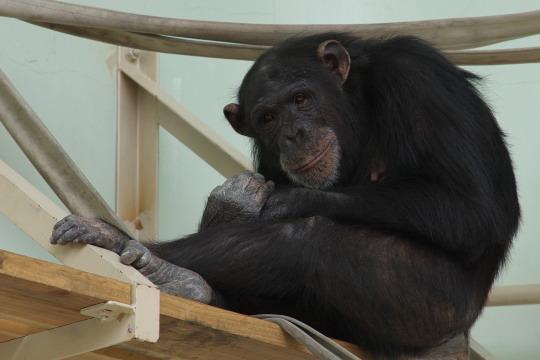 チンパンジーですが・・・